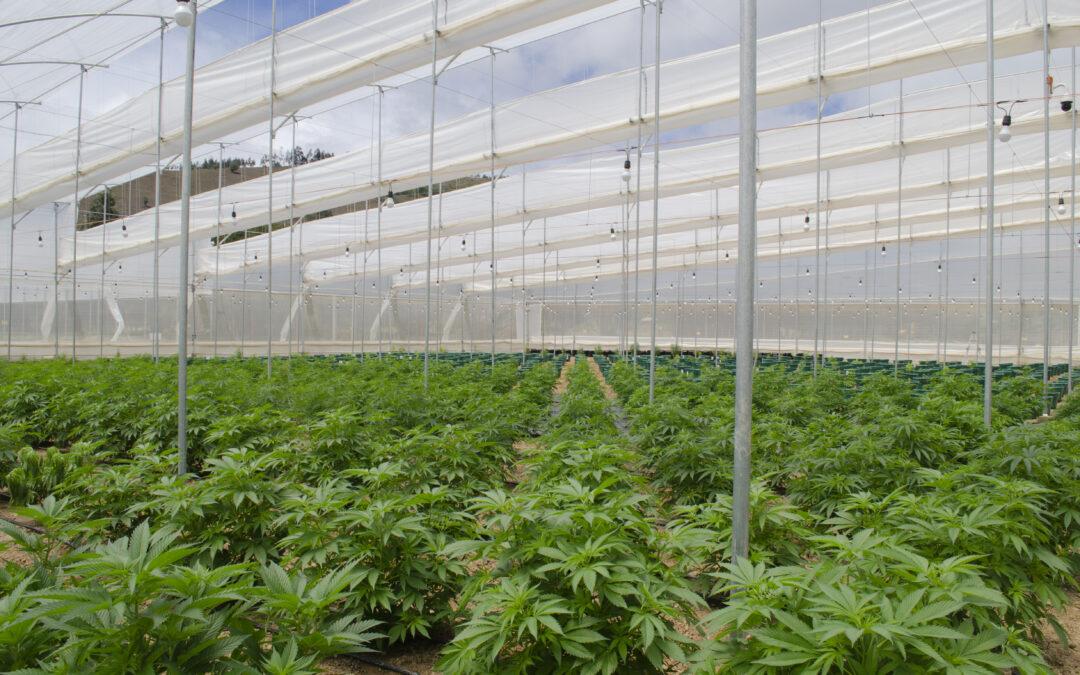 Empresa de cannabis medicinal Clever Leaves faz uso de inovações tecnológicas em suas plantações